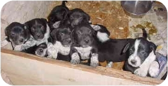 Boxer/German Shorthaired Pointer Mix Puppy for adoption in ELSINORE, Utah - pups