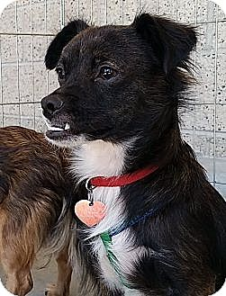 Terrier (Unknown Type, Small)/Spaniel (Unknown Type) Mix Dog for adoption in Arcadia, California - Zed