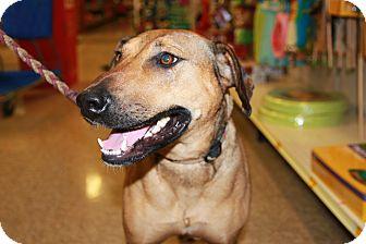 Labrador Retriever Mix Dog for adoption in Rochester, Minnesota - Kenzie