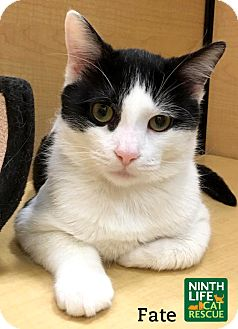 Domestic Shorthair Cat for adoption in Oakville, Ontario - Fate