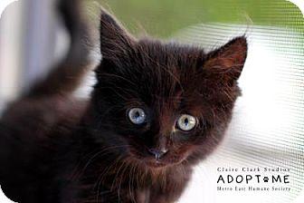 Domestic Mediumhair Kitten for adoption in Edwardsville, Illinois - Sarah