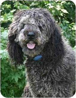 Standard Poodle/Poodle (Standard) Mix Dog for adoption in Ladysmith, Wisconsin - Ferdinand
