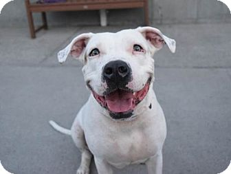 American Pit Bull Terrier Mix Dog for adoption in Prospect, Connecticut - Brooklyn