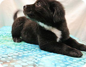 Labrador Retriever/Border Collie Mix Puppy for adoption in Allentown, Pennsylvania - Mattie