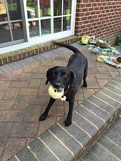 Labrador Retriever Mix Dog for adoption in Manhasset, New York - Luna