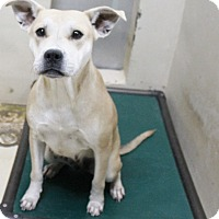 Pit Bull Terrier Mix Dog for adoption in Odessa, Texas - A35 Beckey