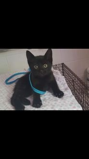 Domestic Shorthair Kitten for adoption in Harrisburg, Pennsylvania - Spook (baby girl)
