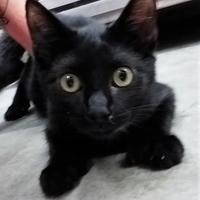 Domestic Shorthair/Domestic Shorthair Mix Cat for adoption in Paducah, Kentucky - Jinx