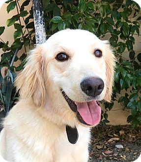Golden Retriever Mix Puppy for adoption in Irvine, California - BAILEY