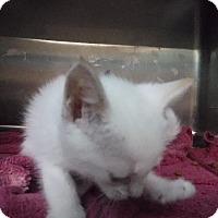 Adopt A Pet :: Zeus - Batesville, AR
