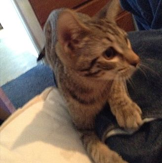Domestic Shorthair Kitten for adoption in La puente, California - Patches