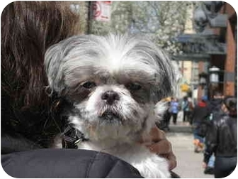 Shih Tzu Dog for adoption in Long Beach, New York - Cindy