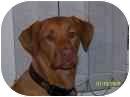 Labrador Retriever/Vizsla Mix Dog for adoption in Williston, Vermont - Harley