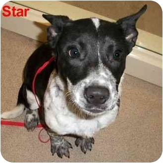 Australian Cattle Dog Mix Dog for adoption in Slidell, Louisiana - Star