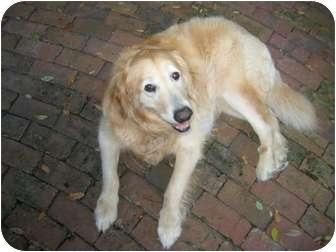 Golden Retriever Mix Dog for adoption in Jacksonville, Florida - Wilson