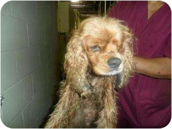 Cocker Spaniel Mix Dog for adoption in Moultrie, Georgia - Pistol