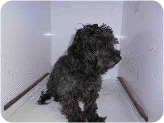 Poodle (Miniature) Mix Dog for adoption in Yuba City, California - Xenia