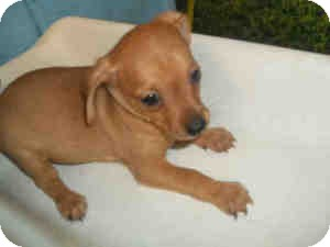 Chihuahua Mix Puppy for adoption in Las Vegas, Nevada - N's Nermal - N