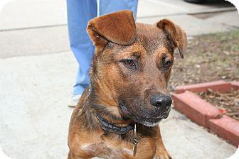 German Shepherd Dog Mix Puppy for adoption in Groton, Massachusetts - Missy