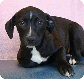 Labrador Retriever Mix Puppy for adoption in Sacramento, California - Shyla