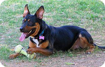 Australian Kelpie/Shepherd (Unknown Type) Mix Dog for adoption in Phoenix, Arizona - CASSIDY
