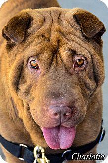 Shar Pei Dog for adoption in Vista, California - Charlotte