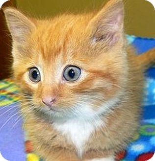Domestic Shorthair Kitten for adoption in Green Bay, Wisconsin - Benson