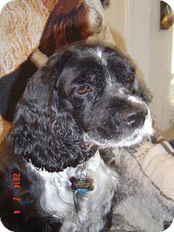Cocker Spaniel Dog for adoption in Mentor, Ohio - Annie 8yr Adopted