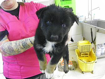 Shepherd (Unknown Type) Mix Puppy for adoption in Waldorf, Maryland - Socks