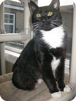Domestic Shorthair Cat for adoption in Bloomsburg, Pennsylvania - Zeta