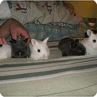 Adopt A Pet :: October Baby Bunnies - Morristown, NJ