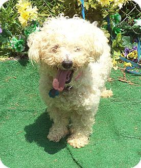 Poodle (Miniature) Mix Dog for adoption in Marietta, Georgia - BRANDI