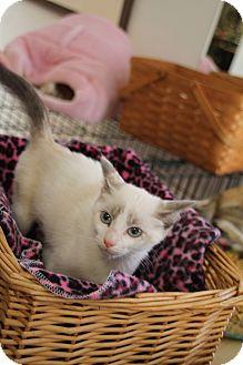 Domestic Shorthair Kitten for adoption in Nashville, Tennessee - Olive