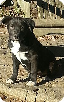 Border Collie/Setter (Unknown Type) Mix Puppy for adoption in Rochester, New York - William