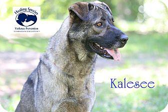 Shepherd (Unknown Type)/Husky Mix Dog for adoption in Orangeburg, South Carolina - Kalesee