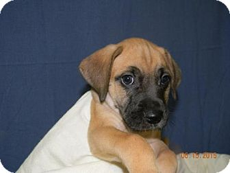 Boxer Mix Puppy for adoption in Chester, Illinois - Thomas