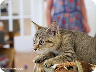 Domestic Shorthair Kitten for adoption in Knoxville, Tennessee - Liza Jane