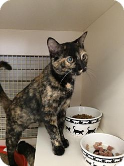 Domestic Shorthair Cat for adoption in Stafford, Virginia - Trixie