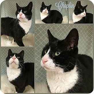 Domestic Shorthair Cat for adoption in Joliet, Illinois - Chaplin