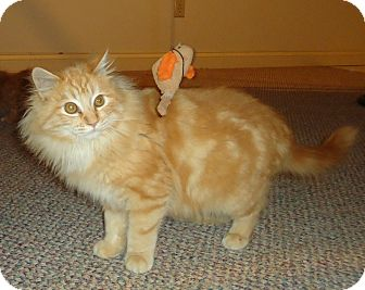 Maine Coon Kitten for adoption in Columbus, Ohio - Sprinkles