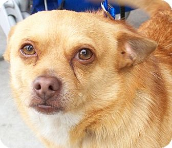 Chihuahua Mix Dog for adoption in Castro Valley, California - Sigmund