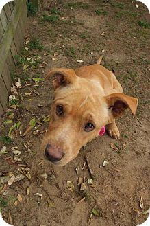 Labrador Retriever Mix Dog for adoption in Darlington, South Carolina - Miles