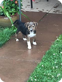 Terrier (Unknown Type, Small) Mix Puppy for adoption in Lima, Pennsylvania - Finn