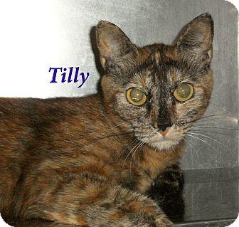 Domestic Shorthair Cat for adoption in El Cajon, California - Tilly