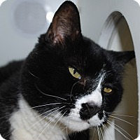 Domestic Shorthair Cat for adoption in Council Bluffs, Iowa - Don