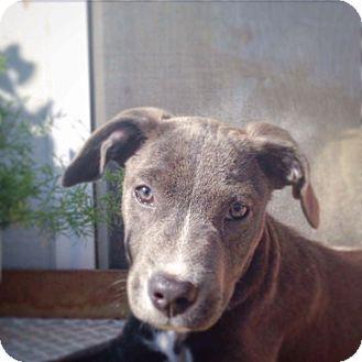 American Staffordshire Terrier/Labrador Retriever Mix Puppy for adoption in Chicago, Illinois - Mac