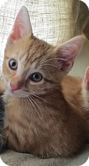 Domestic Shorthair Kitten for adoption in Horsham, Pennsylvania - Spencer