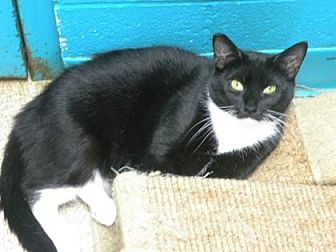 Domestic Shorthair/Domestic Shorthair Mix Cat for adoption in Anderson, Indiana - Meadow lark
