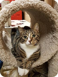 Domestic Shorthair Cat for adoption in Smithfield, North Carolina - LeRoy SPECIAL ADOPTION FEE