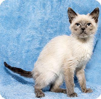 Siamese Kitten for adoption in Mt. Prospect, Illinois - Nidorina
